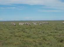 Hunderte Zebras zwischen Serengeti und Ngorongoro