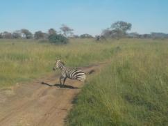 Zebra im Serengeti