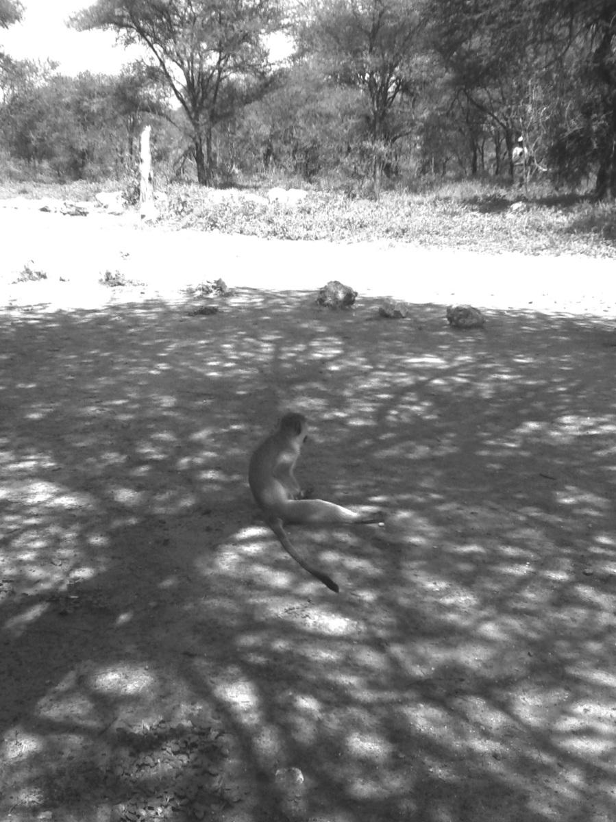 Klauender Affe im Tarangire