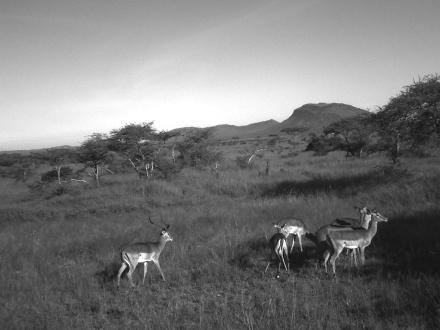 Antilopen - überall