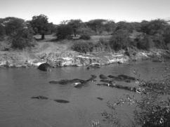 Flusspferde im Serengeti