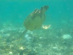 Schildkröten auf Apo Island