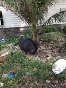Wildschwein auf Koh Chang