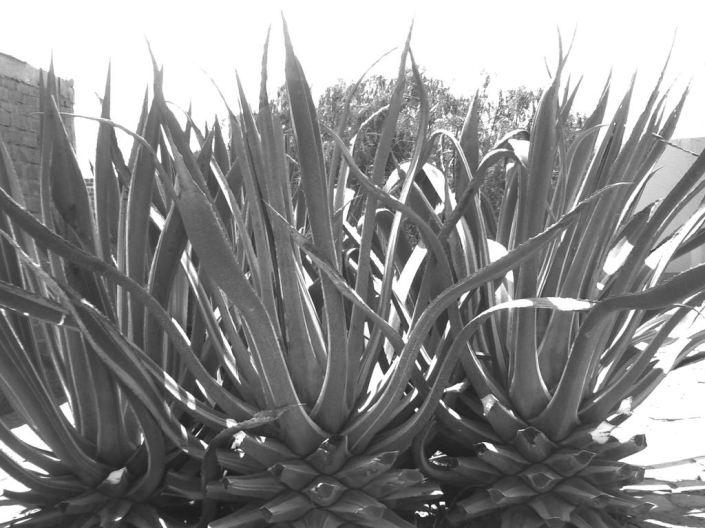 Kaktus in Pimentel