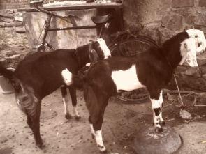Ziegen in Sawarda